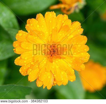 Orange Camomile Flower Bed In Garden Macrophoto