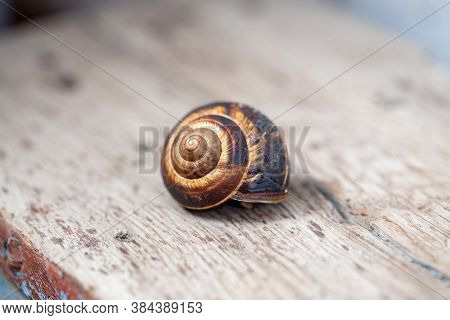 Big Snail On The Tree. Burgudian, Grape Or Roman Edible Snail From The Helicidae Family. Air-breathi