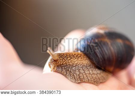 A Large Snail On A Human Hand. Pet, Cosmetology And Useful Properties. A Snail From The Helicidae Fa