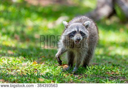 North American raccoon in green grass