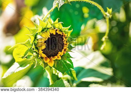 Just Emerging Sunflower With Vine And Leaves In Sun