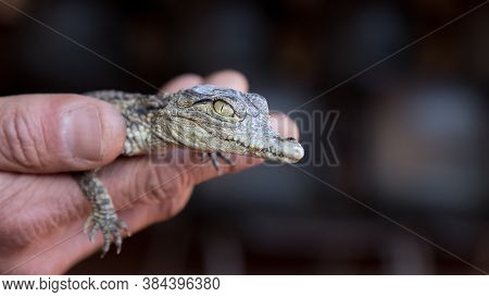Nile Crocodile Baby In A Human Hands Close. Crocodylus Niloticus.