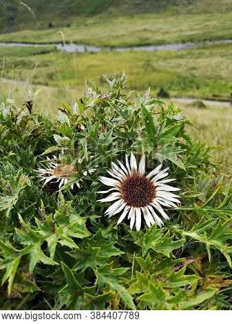 Wild Flowers In The Mountains. Carlina Acaulis, The Stemless Carline Thistle, Dwarf Carline Thistle,