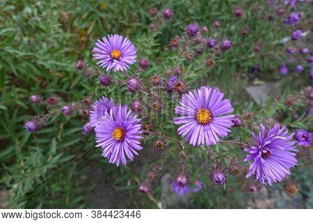 5 Purple Flowers Of New England Aster In September