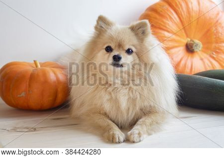 Cute Little Puppy, Pomeranian Spitz Dog With Pumpkins And Zucchini. Autumn Vegetable Harvesting.