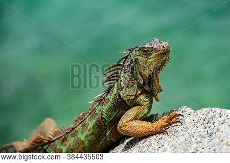 Iguana Iguana, Also Known As The American Iguana. A Close-up Of A Green Iguana