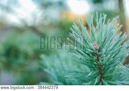 A Pine Branch In The Garden Was Covered With Frost. The First Frosts In Late Autumn