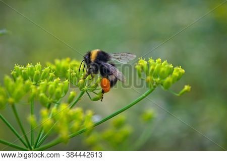 Bumblebee Collects Nectar On A Yellow Flower. Bumblebee Collects Nectar From A Flower.