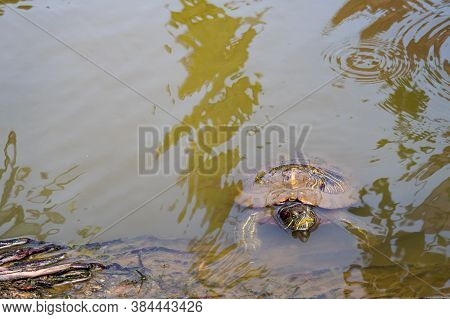 Red-eared Slider Turtle (trachemys Scripta Elegans) Head And Shell Sticking Out Of The Green Water I