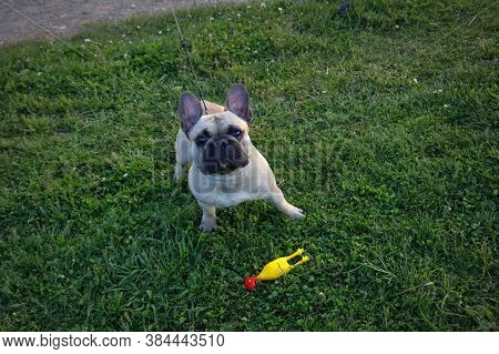 Dog Breed French Bulldog Of Light Color Walks In The Forest On A Green Lawn.