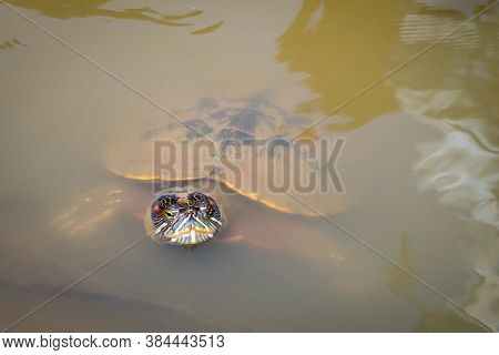 Colorful Red-eared Slider Turtle (trachemys Scripta Elegans) Head And Shell Sticking Out Of The Gree