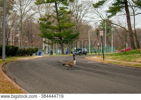 A Wild Goose Crossing The Blacktop Road In A Park In Suburban Pennsylvania