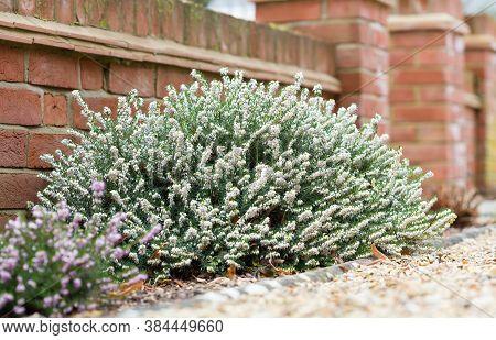 Heathers, Winter Flowering Heather Plants, White Perfection, Erica X Darleyensis, In A Garden Flower