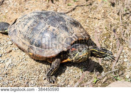 Colorful Red-eared Slider Turtle (trachemys Scripta Elegans, Red-eared Terrapin, Red-eared Slider Tu