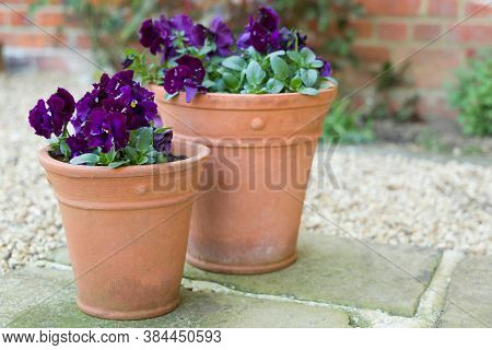 Pansy Flowers, Purple Pansies, Winter To Spring Flowering Pansy Ruffles Plants In Garden Pots On A P