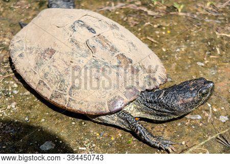 Red-eared Slider Turtle (trachemys Scripta Elegans, Red-eared Terrapin, Red-eared Slider Turtle) Wit