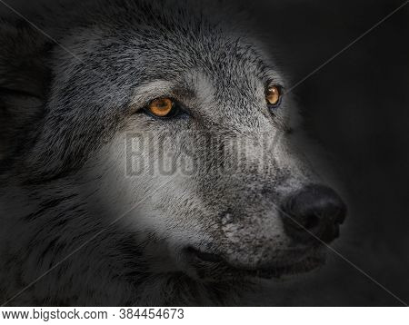 photo with wolf close up