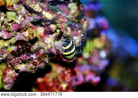 Bumble Bee Saltwater Snail  - (pusiostoma Sp.)