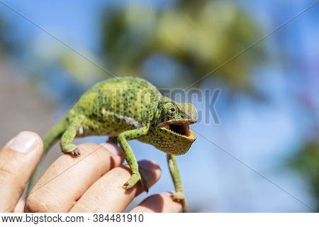 Closeup Of A Chameleon Sitting On A Hand On The Island Of Zanzibar, Tanzania, Africa