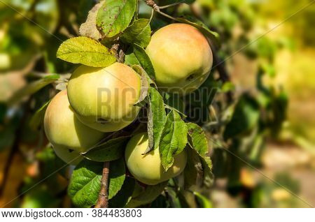 Ripe Green Apple On A Branch With Leaves In The Garden. Harvest Fruit Apple Tree. Selective Focus. G