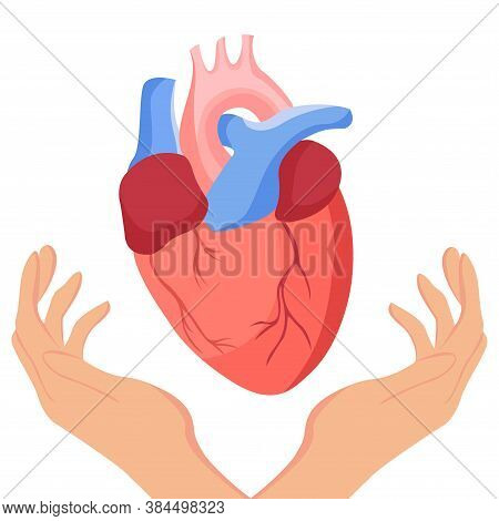 Hands Hold Heart. Human Heart In Flat Style Illustration, Isolated. Anatomical Heart For Medical, Sc