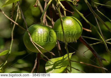 Two Green Lemons Weigh On A Lemon Tree.