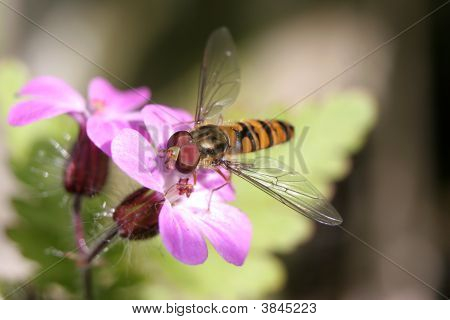 A Hoverfly On A Pink Flower