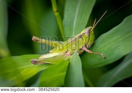 A Female Short-winged Green Grasshopper (dichromorpha Viridis) Clings To A Leaf. Raleigh, North Caro