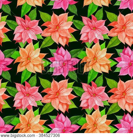 Christmas Poinsettia Pink Flower.christmas Pattern With Watercolor Pink Poinsettia On A Black Backgr