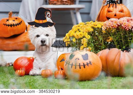 Funny Dog West Highland White Terrier Decorated With Photo Props Is Sitting Near Orange Pumpkins, Fl