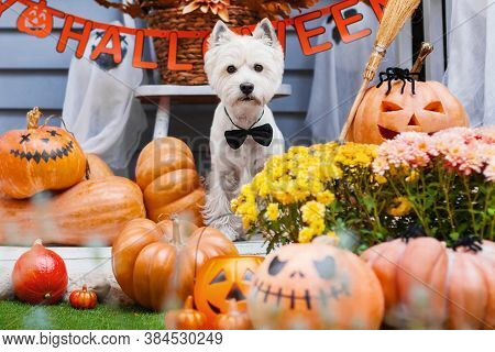 Funny Dog West Highland White Terrier Dressed In Black Bow Tie Is Sitting Near Decorated With Pumpki