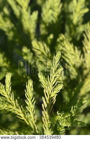 Japanese Cedar Little Champion Branches - Latin Name - Cryptomeria Japonica Little Champion