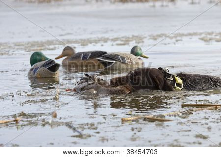 Hunting Dog with a duck