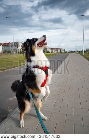 Portrait of Australian Shepherd dog on leash while walking outdoors. Beautiful adult purebred Aussie Dog with owner in the city.