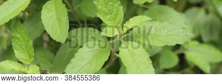 Holy Basil Leaves On The Holy Basil Tree Banner Background. Holy Basil Leaves Are Useful Herbs.