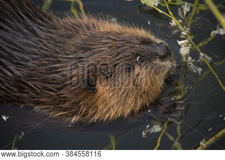 The Eurasian Beaver (castor Fiber) In Zoo .