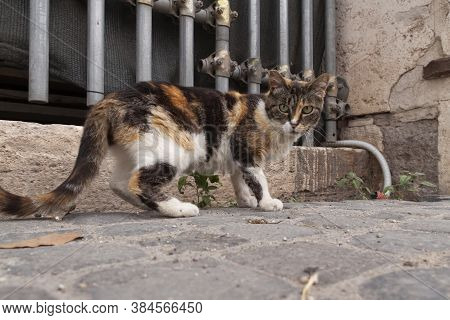 Rome, Italy - June 27, 2010: A Stray Cat Watches The Camera Attentively, Near The Colosseum In Rome.