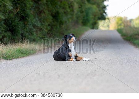 Adorable Appenzeller Mountain Dog Posing Outdoors In Summer