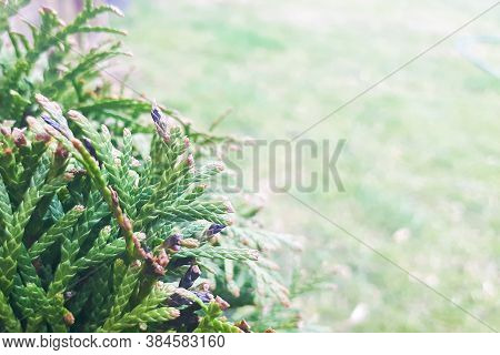 Nature Background With Green Coniferous Branch In Left Side And Copy Space In Right Side.