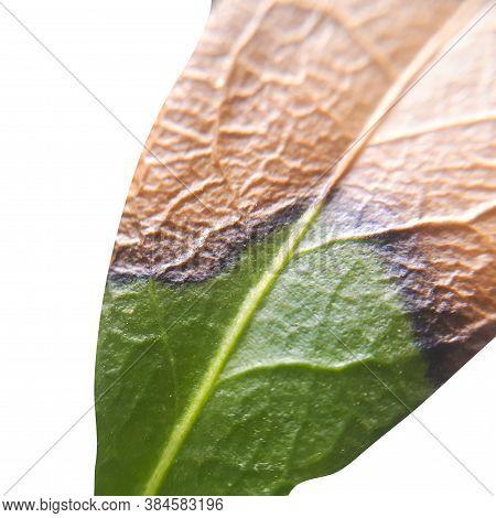 Green Leaf Isolated On White Background Macro