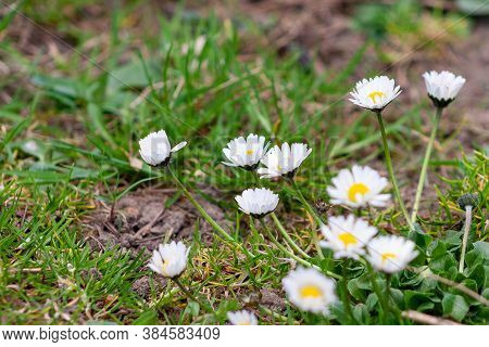 Many Daisy Flowers In Meadow, Garden. Spring Time.