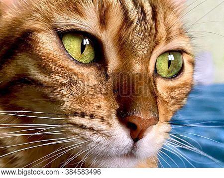 Bengal Cat Face Close Up
