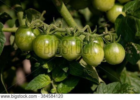 Bunch Of Unripened Green Tomatoes On The Vine
