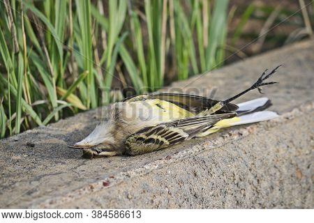 Dead Western Yellow Wagtail (motacilla Flava). A Dead Bird. Avian Flu, The Danger Of A Pandemic.
