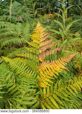 Colors Of Autumn On Fern. Dried Fern Branch. Dry Wild Plants In The Fall. Brown Autumn Background Of