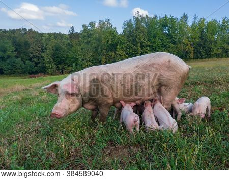 Sow Watches The Piglets In The Meadow. Organic Piggies On The Organic Rural  Farm. Rural Piglets Roa