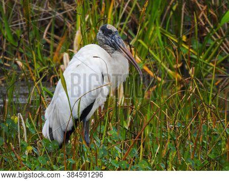 Immature Wood Stork In Orlando Wetlands Park