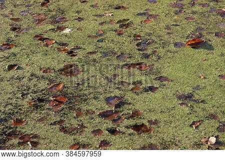 Water In A Pond With Duckweed And Autumn Leaves