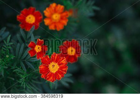 Bright Orange Marigold Flowers (tagetes Patula) On Dark Green Background. Close-up.