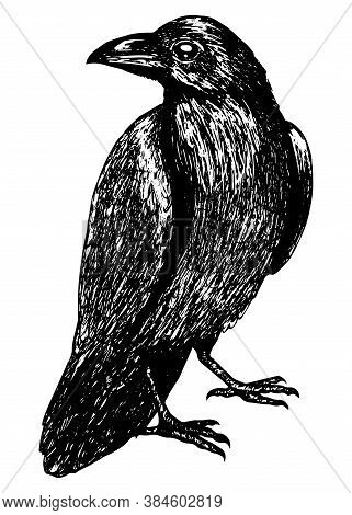 Sketch Of A Crow Black Outline On A White Background Isolated, Stock Vector Illustration For Design